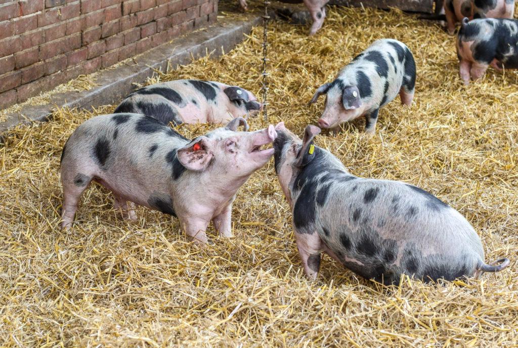 Schwein gehabt! Das Bentheimer Schwein hat Glück